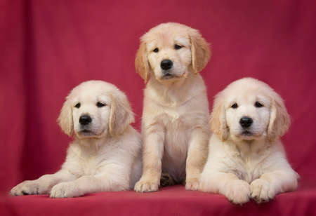 Three little smart puppy of breed Golden Retriever sit and lie on a red-pink background