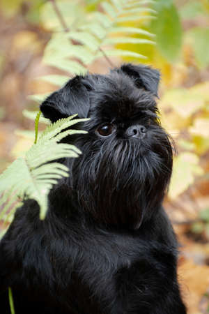 Portrait of a black small wire-haired dog of the Belgian Griffon breed outdoor in the forest near the fern