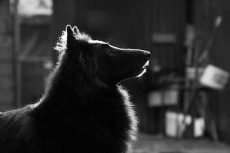 Portrait of a black fluffy big dog of the Groenendael breed in profile in a monochrome Banque d'images