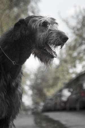 The Irish Wolfhound is a breed of hunting dogs. One of the largest dogs in the world. Irish wolfhounds were used for pickling large game hunts - wolves and deer. Stock Photo