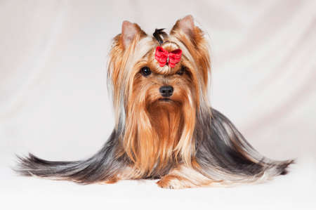Cute little long-haired dog Yorkshire Terrier with a red bow