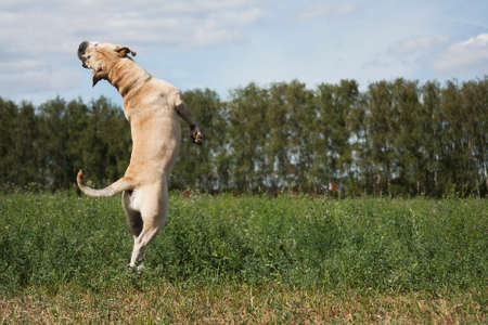 Dog breed Cadebo, fawn in summer jumping, rapidly, among the green grass