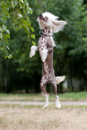 Chinese Crested Dog is a breed of dog. Dogs of this breed can be either hairless - individuals (hair is found only in the head, tail and extremities), and with soft veil-like hair covering the whole body - puffs (Powderpuff). They are odorless and do not fade (with the exception of downy ones).