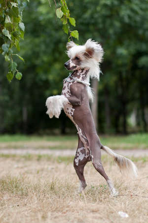 Chinese Crested Dog is a breed of dog. Dogs of this breed can be either hairless - naked individuals (hair is found only in the head, tail and extremities), and with soft veil-like hair covering the whole body - puffs (Powderpuff). They are odorless and do not fade (with the exception of downy ones). Stockfoto