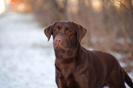 Labrador Retriever is a breed of dog. It was originally bred as a hunting gun dog. Labradors are used in hunting, as guide dogs, rescue dogs, but mainly as companions. The breed originates on the island of Newfoundland on the east coast of Canada.