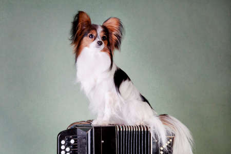 White-black-red dog of the papillon breed (continental toy spaniel) sits on a button accordion musical instrument on a green background indoors in the studio