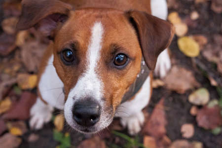 Parson Russell Terrier was bred to work on the fox. Confident, energetic and happy, brave and friendly.