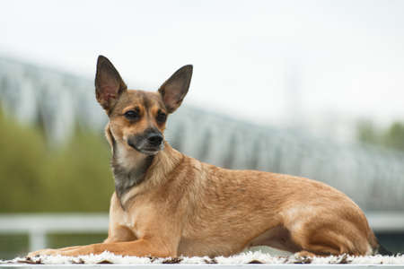 In the coat, a medium-sized adult beige dog of the breed Peruvian Hairless Dog (Inca Peruvian Orchid, Inca Hairless Dog, Viringo, Calato, Mexican Hairless Dog), lies on the table against the background of a blurred bokeh of the bridge outdoors in cloudy weather