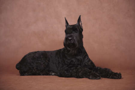 Big black beautiful dog breed Giant Schnauzer lies in the studio indoors on a brown background