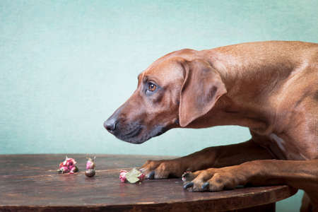 Trained ginger big dog, Rhodesian ridgeback breed, aspiring profile portrait, on a wooden round table with dried flowers (sachets, dried roses), on a greenish background, indoors Stock Photo