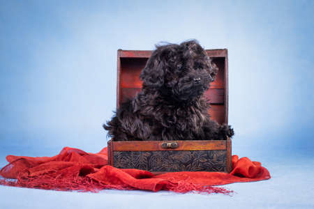 Black puppy of a dog of the Russian colored lapdog breed in a box on a blue background in a studio indoors on a red scarf