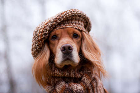 Portrait of a red spaniel dog in a knitted hat and scarf Stock Photo