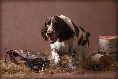 A springer spaniel dog, brown and white in color, runs away in the hay with game (bird) on a brown background in a photo studio indoors with birch stumps Stock fotó