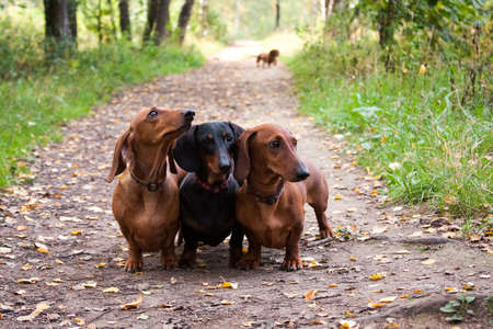 Three dachshund dogs in a row, red and black, obediently stand in the summer on the track, outdoors, and in the distance the fourth