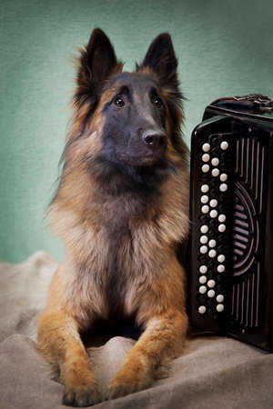 Tervuren red dog near the button accordion in the room on a green background Archivio Fotografico