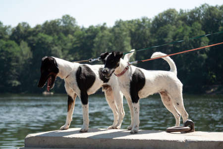 Two dogs of a breed of a smooth-haired fox-terrier of a white color with black spots stand parapet near the river