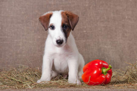 A small puppy of breed smooth-haired fox-terrier of white color with red spots sits indoors on a sacking covered with hay, and next to it is red bell pepper