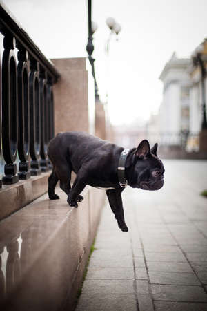 A black dog of the French Bulldog breed jumps from a granite detail of a cast-iron architectural fence in the center of Moscow