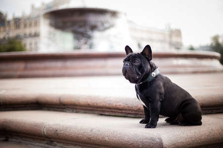 Photo of a dog of the breed French bulldog of black color black crooks sitting in the old city center of Moscow, against the background of the fountain 版權商用圖片
