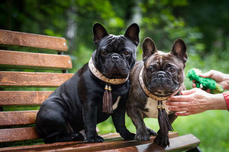 Two dogs French bulldogs, brindle and black, on a bench, outdoors, in summer, in the rain. One is sitting, the other is running away Standard-Bild