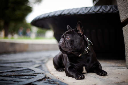 A dog of the French Bulldog breed of black color lies at the base of an old fountain, in the tourist center of the city