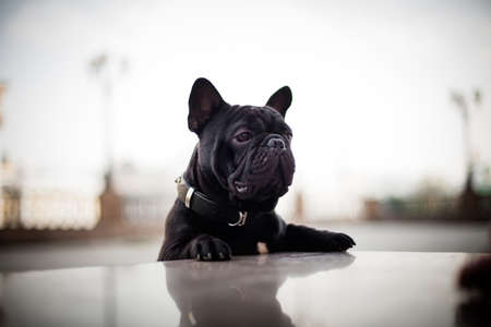 Photo of a black dog of the French Bulldog breed, leaning on a granite site with his front paws, in black collars, on a street in the center of Moscow