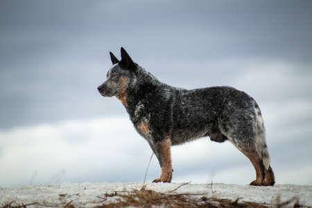 dog of the Australian healer breed background.