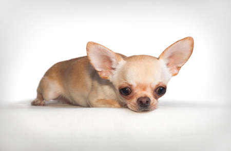 White-fawn little chihuahua dog, sadly lies on a white background indoors in the studio, head down