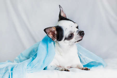 a white with black spots adult male Chihuahua breed, small size, lies in a blue shawl on a white background indoors in the studio