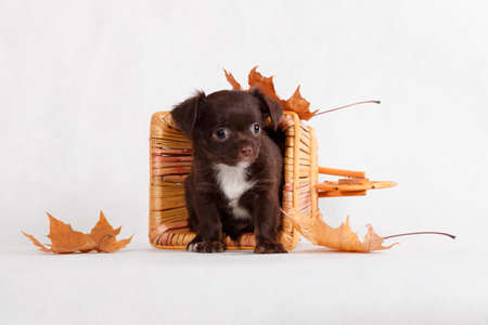 A fluffy brown chocolate with a white breast small Chihuahua puppy sits in a wicker basket such as a trolley turned upside down and next to it autumn maple leaves