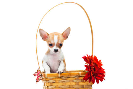 White-red-haired little smooth-haired chihuahua puppy sitting in a wicker basket with a large handle with a red flower gerbera and butterfly in an indoor studio Foto de archivo
