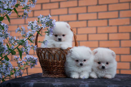 Three little fluffy puppy  background.
