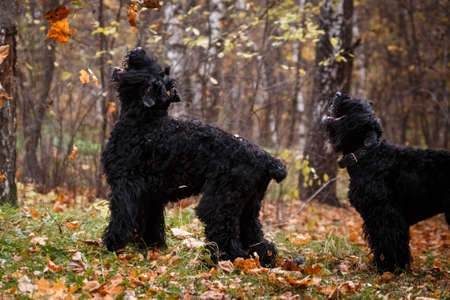 A dog of the Russian Black Terrier breed, a large and formidable dog bred by Soviet breeders, lies on the autumn foliage