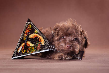 A small brown puppy of the Russian colored lapdog breed with a balalaika on a brown background