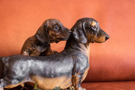 Twin dachshunds, live tan black brindle puppy and black and brown doxie figurine by orange? Ouch indoors 스톡 콘텐츠