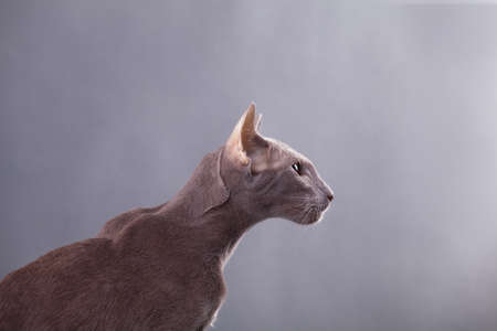 Horizontal photo of a beautiful elegant oriental cat on a gray background in the studio room in profile