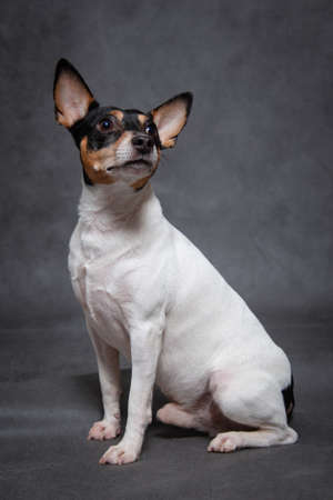 American Toy Fox Terrier white-red-black color sits on a gray background indoors in the studio