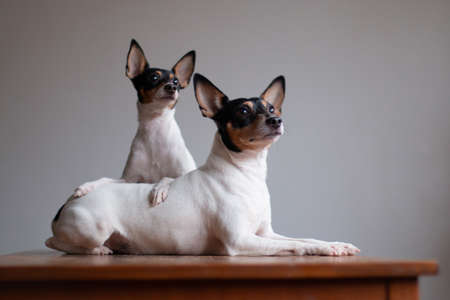 Two American toy-fox terriers of white-red-black color, portrait on a gray background indoors on a red wooden table