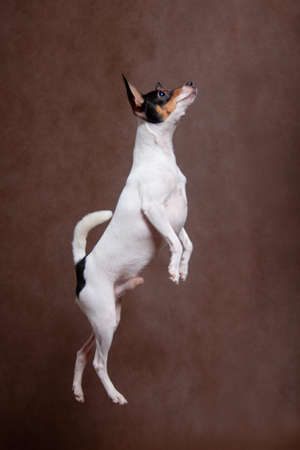 A white small dog with a black-red snout, a breed of American toy-fox terrier, jumped on a brown background indoors in the studio