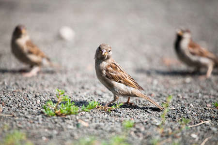 Three small gray-brown birds of the kind of brown sparrow are found outdoors on gravel on a sunny day