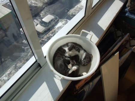 Gray domestic cat curled up in white plastic basin on sunny windowsil near window in apartment balcony, horisontal photo