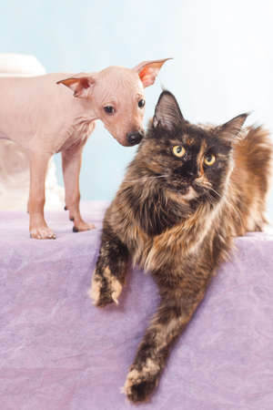 Unusual puppy American hairless terrier sniffs maine coon tortoiseshell tortie cat in the studio on a blue and purple background