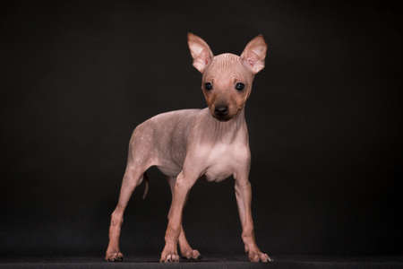 puppies of breed the American hairless terrier Stok Fotoğraf