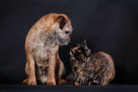 Tortoiseshell maine coon cat and tan border collie dog socializing together and having a talk indoors in studio on black background, horisontal photo