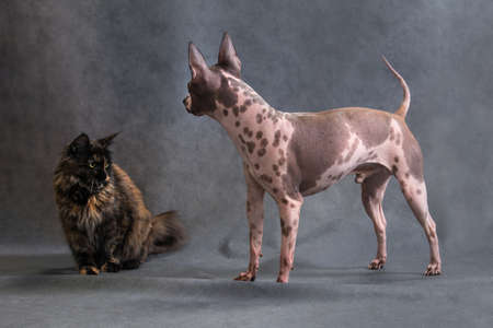 Tortoiseshell maine coon cat and American spotted hairless terrier dog making friends, getting to know each other, in studio indoors on gray background, horisontal photo Banco de Imagens