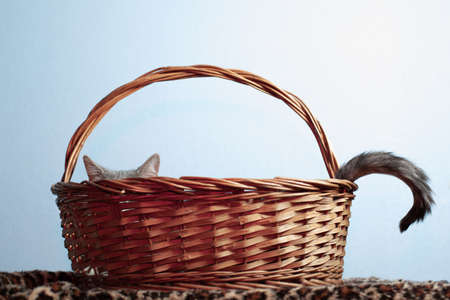 Ears and tail of gray domestic cat peeking out from wicker basket on background of a blue wall in studio indoors