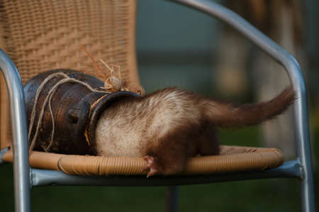 Cowardly ferret runs away in a clay amphora on a wicker chair in the summer at the cottage outside the premises