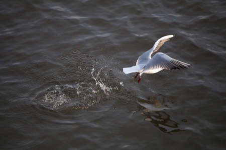 Lake river, black-headed, ordinary seagull with a black head, takes off from the water, creating a lot of shiny spray, horizontal photo Standard-Bild
