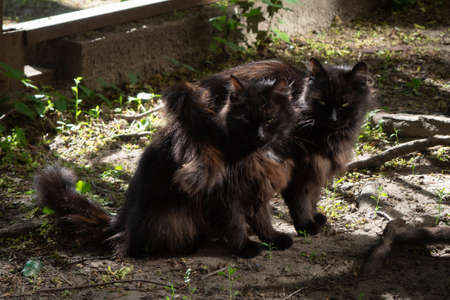 Two black furry cats sit side by side and they have love and friendship, for each other, on the ground, in summer, outside the house, in the sunlight and shadows