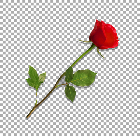 Beautiful bud of red rose on long stem